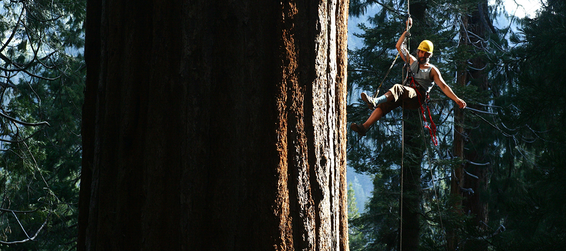 Tree climber in the Redwoods